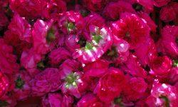 Cesto di rose di Magliano