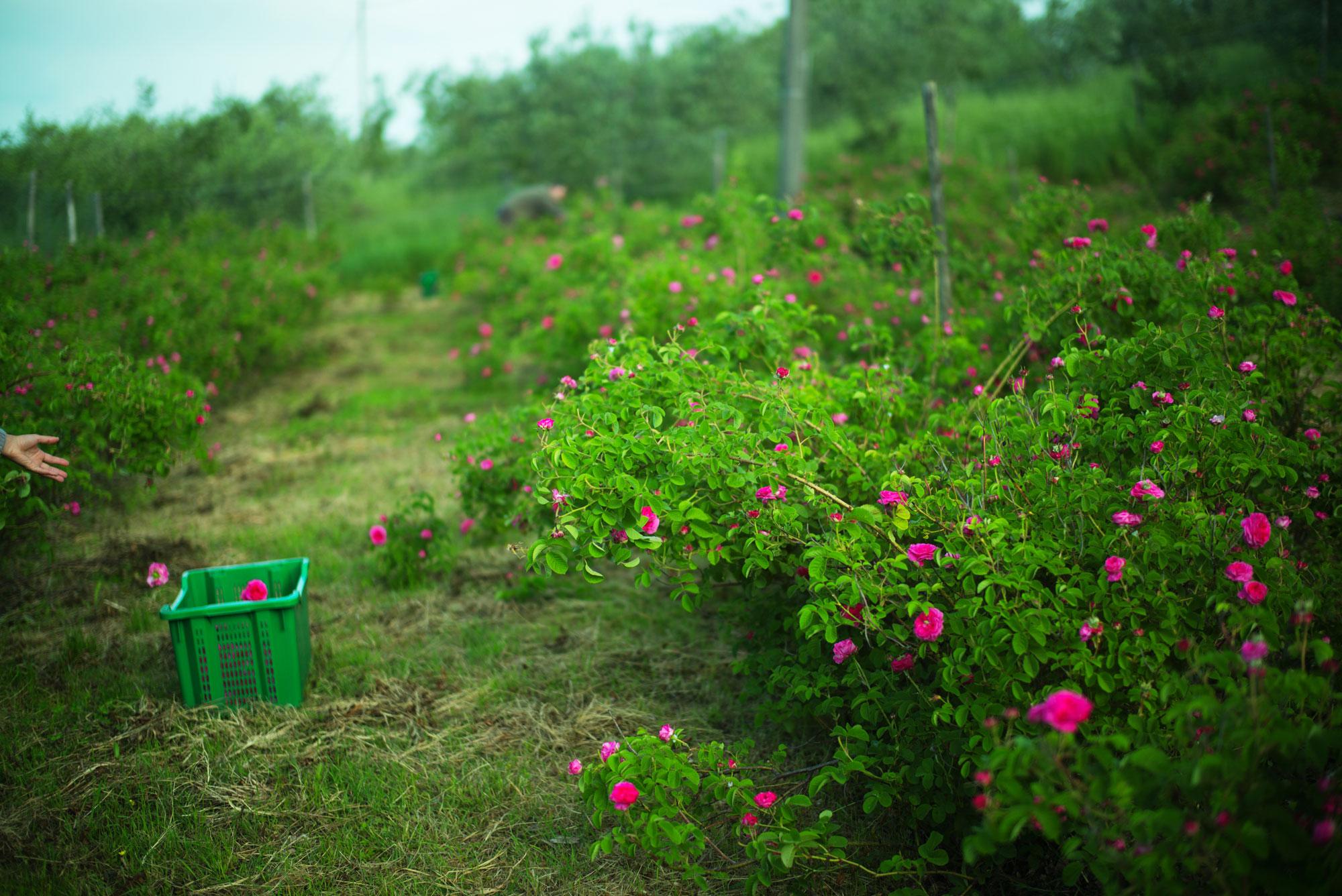 Rosa di Magliano raccolta rose
