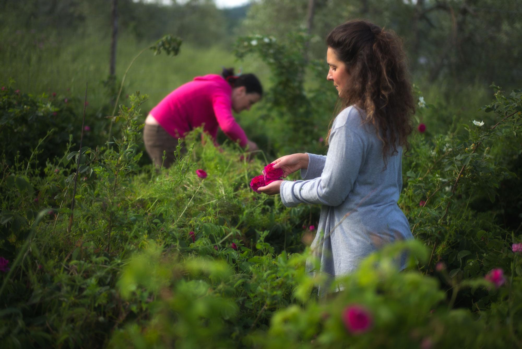 Raccolta delle rose di Magliano