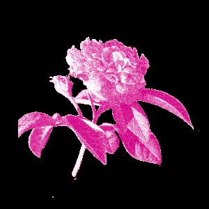 Rosa di Magliano disegno