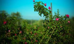 Rosa di Magliano roseto